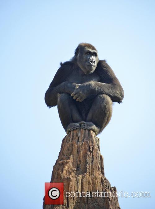 Gorilla Enters New Home 2