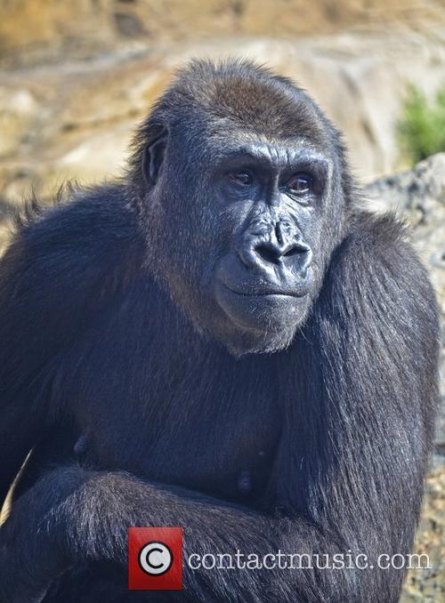 Gorilla Enters New Home 3