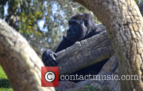 Gorilla Enters New Home 4