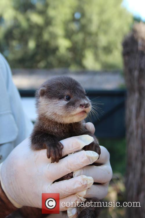 Zoo Welcomes Three Otter and Pups 4