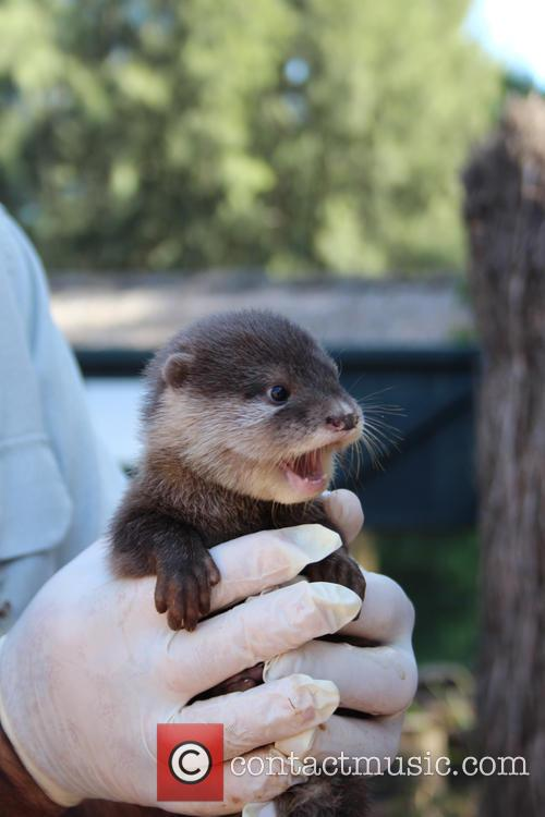 Zoo Welcomes Three Otter and Pups 5