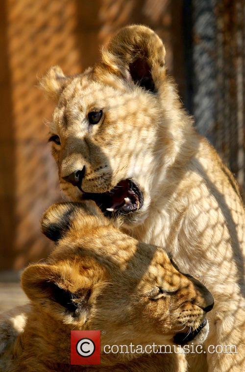 Lion cubs enjoy the warm weather at Varna...