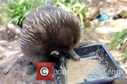 Echidnas Give New Just-add-water, Diet The, Lick and Approval 4