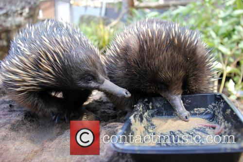 Echidnas Give New Just-add-water, Diet The, Lick and Approval 5