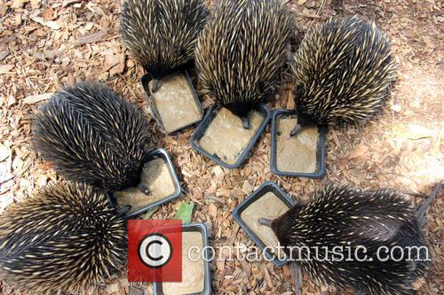 Echidnas Give New Just-add-water, Diet The, Lick and Approval 6