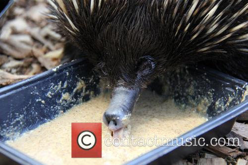 Echidnas Give New Just-Add-Water Diet The 'Lick' of...