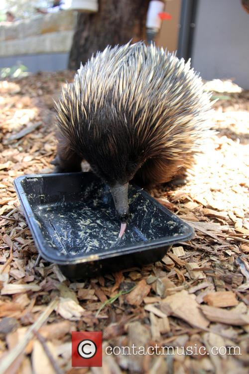 Echidnas Give New Just-add-water, Diet The, Lick and Approval 7
