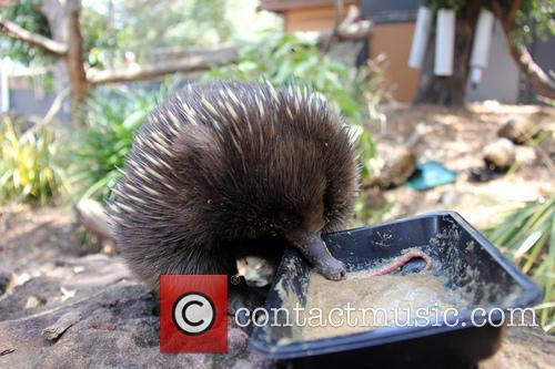 Echidnas Give New Just-add-water, Diet The, Lick and Approval 8