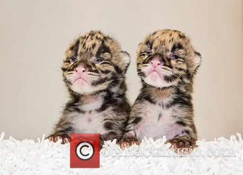 Nashville Zoo Welcomes Two and Clouded Leopard Births 2