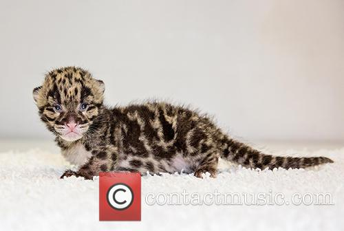 Nashville Zoo Welcomes Two and Clouded Leopard Births 3