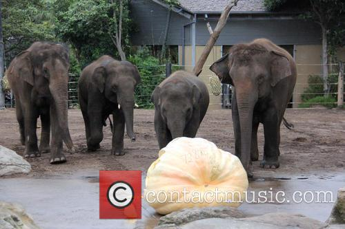 Elephants Eat Record Breaking and Pumpkin 3