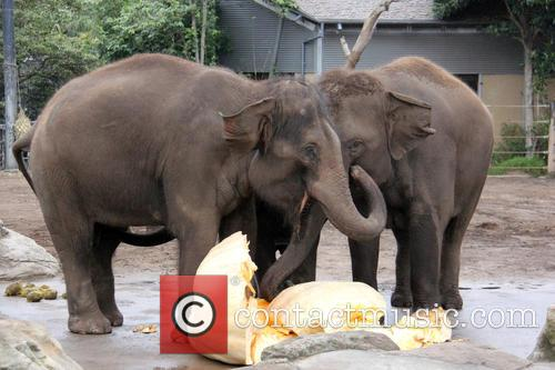 Elephants Eat Record Breaking and Pumpkin 4