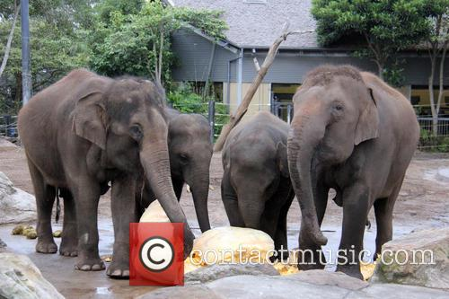 Elephants Eat Record Breaking and Pumpkin 6