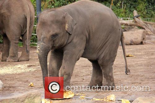 Elephants Eat Record Breaking and Pumpkin 1