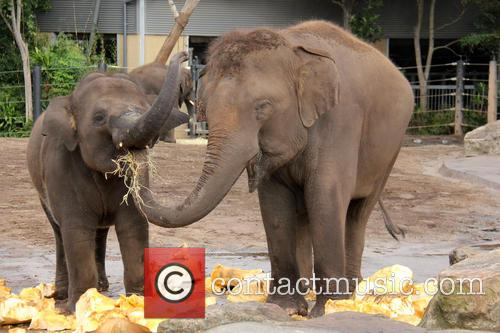 Elephants Eat Record Breaking and Pumpkin 7