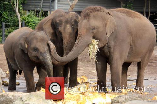 Elephants Eat Record Breaking and Pumpkin 8
