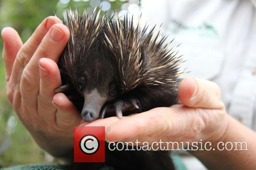 Baby Echidna Rescued and Bulldozer 2