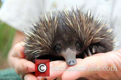 Baby Echidna Rescued and Bulldozer 3
