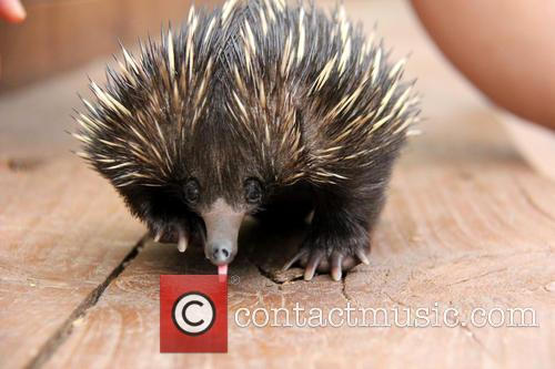 Baby Echidna Rescued and Bulldozer 4
