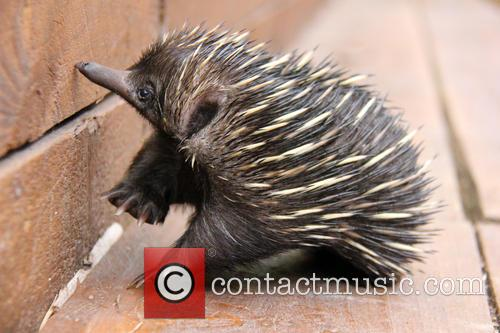 Baby Echidna Rescued and Bulldozer 5