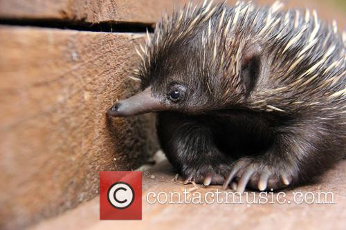 Baby Echidna Rescued and Bulldozer 6