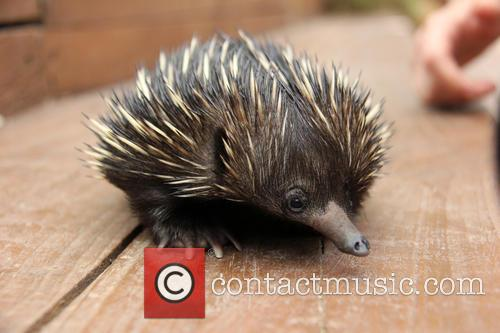 Baby Echidna Rescued and Bulldozer 7