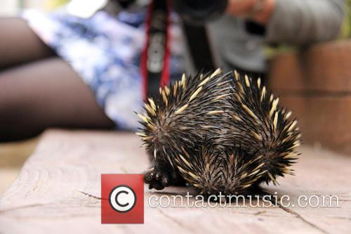 Baby Echidna Rescued and Bulldozer 8