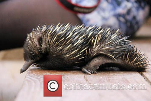 Baby Echidna Rescued and Bulldozer 9