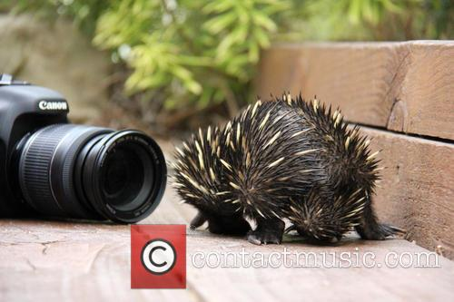 Baby Echidna Rescued and Bulldozer 10