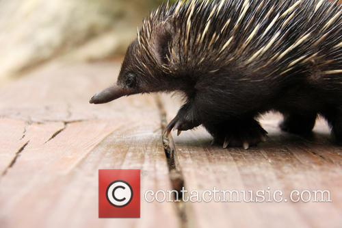 Baby Echidna Rescued and Bulldozer 11