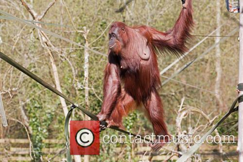 Walking A Tightrope Orang Utan Style!
