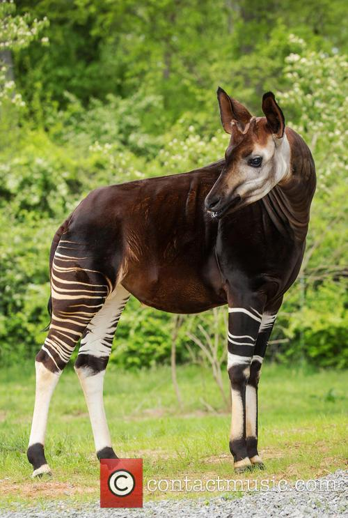 Nashville Zoo's Lesser Spotted, Somewhat Striped and Okapi 1