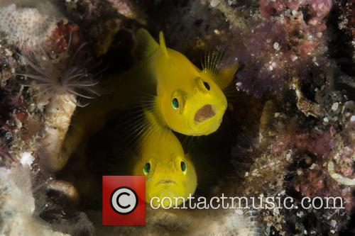 Macro 2nd Place: Ching Kwan Ng Golden Gobies (priolepis Aureoviridis), Lembeh and Indonesia 2
