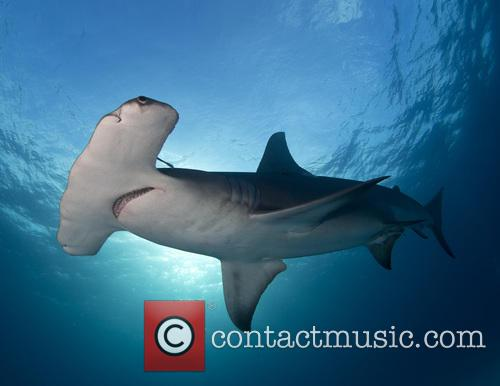 Best Student Entry: Laura Rock Great Hammerhead (sphyrna Mokarran), Bimini and Bahamas 6