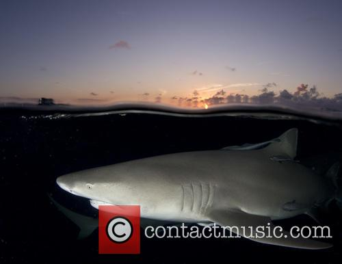 Bahamas, Student 2nd Place: Laura Rock Lemon Shark (negaprion Brevirostris) and West End 7