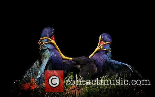 Fine Art Honorable Mention - Purple Gallinules. 5