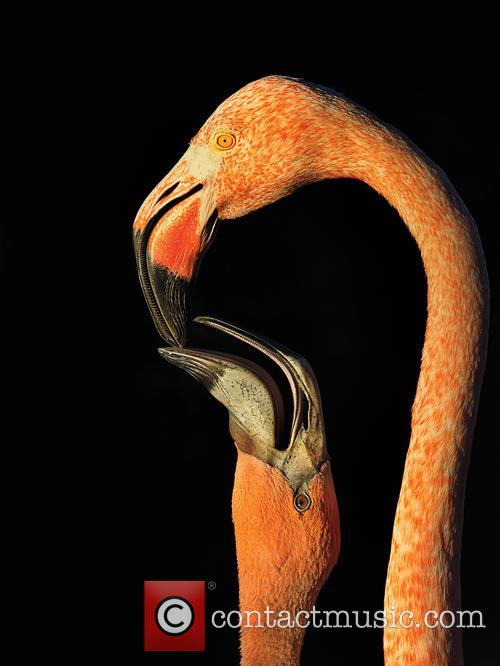 Amateur Honorable Mention - American Flamingo. 7