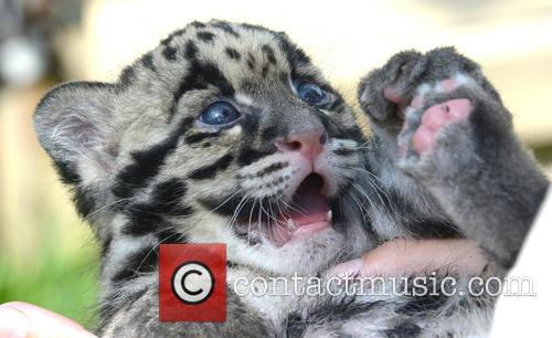 Superstar Clouded Leopard Reaches Another Milestone