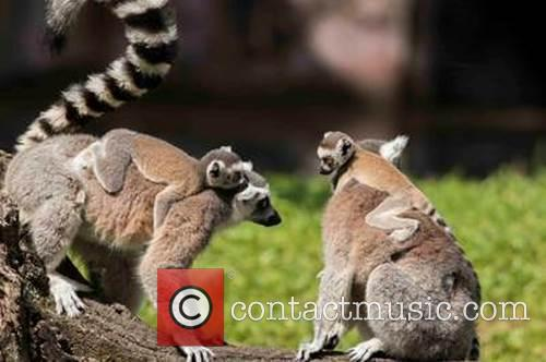 New born critically endangered ring-tailed lemurs explore their...