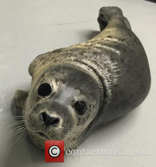 Harbour Seal Gives Birth to Pup at the...