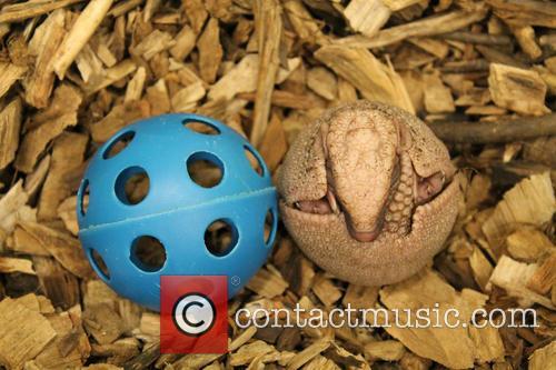 Baby Armadillo Born and Topeka Zoo 2