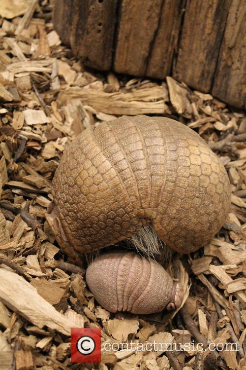 Baby Armadillo Born at the Topeka Zoo