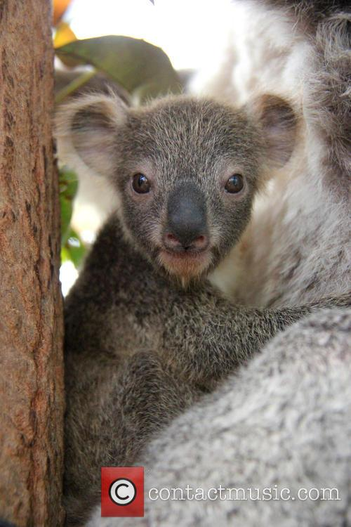 Taronga Celebrates Season's First and Koala Birth 2