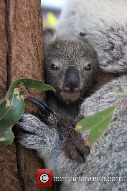 Taronga Celebrates Season's First and Koala Birth 3