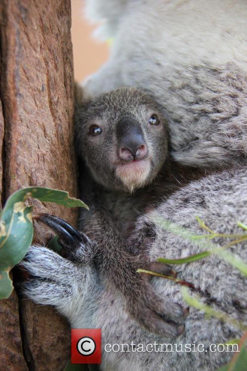 Taronga Celebrates Season's First and Koala Birth 4