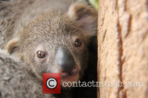 Taronga Celebrates Season's First and Koala Birth 5