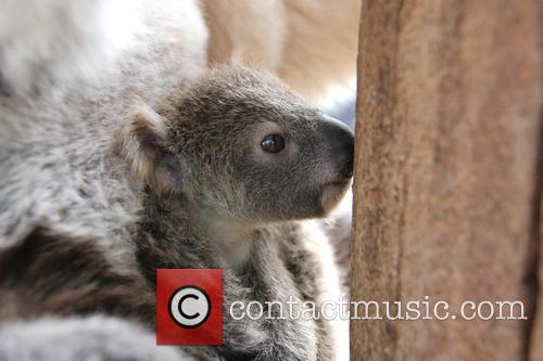 Taronga Celebrates Season's First and Koala Birth 6