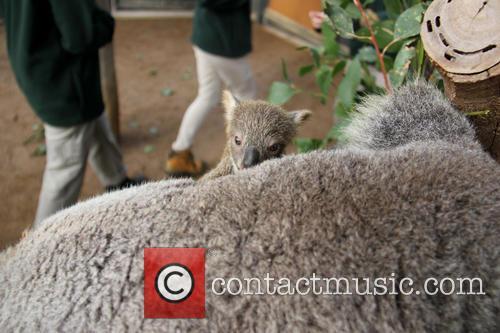 Taronga Celebrates Season's First and Koala Birth 7
