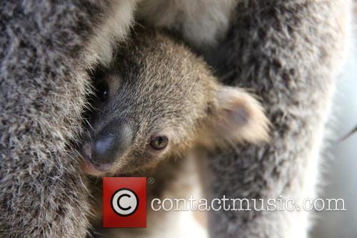 Taronga Celebrates Season's First and Koala Birth 8