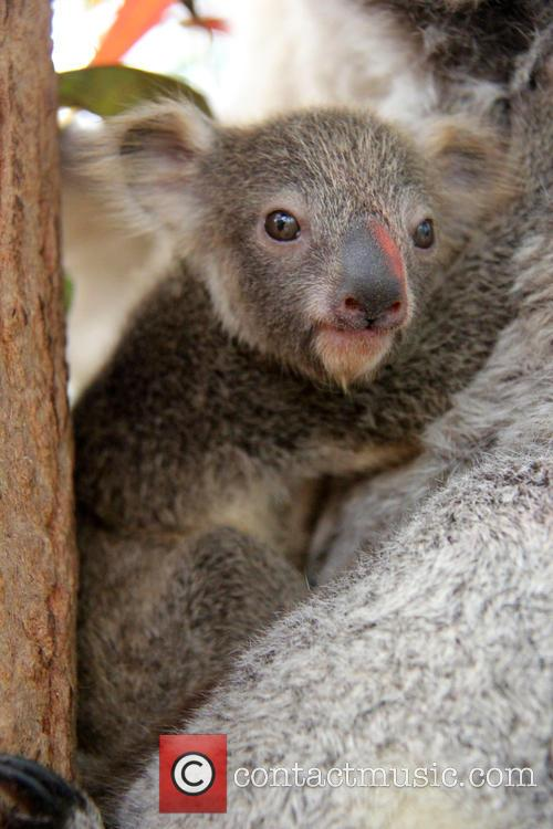 Taronga Celebrates Season's First and Koala Birth 10